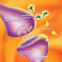 Cannabinoid receptor